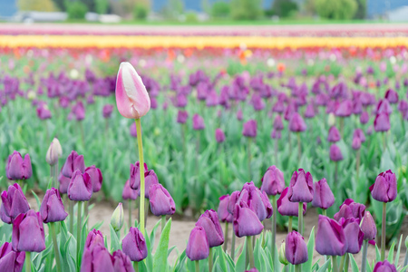 Beautiful, single, different pink and white tulip growing tall in a field of purple triumph tulips, on a flower farm. Archivio Fotografico