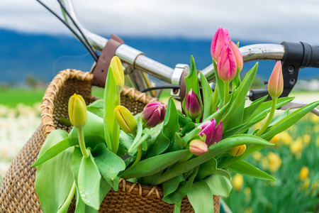 Close up of tulip flowers in a bike basket, with handlebars showing, on a flower field, in springtime. Banque d'images