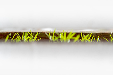 Dill sprout seedlings emerging from a planter box outdoors, with a narrow view to the leaves through fence boards, which are painted white.