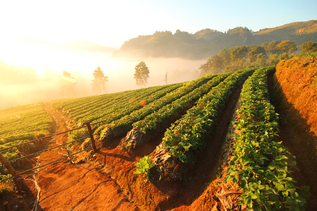 chiangmai: Doi Angkhang mountain, chiangmai, Thailand, strawberry field
