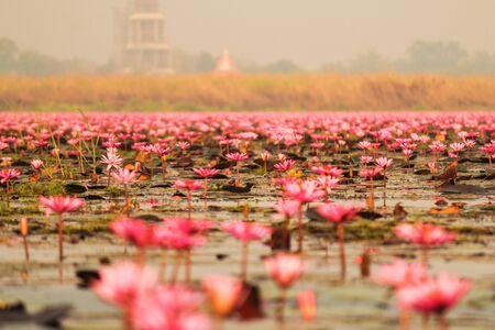 jardines con flores: Loto rojo en el estanque en Kumphawapi, Udon Thani, Tailandia