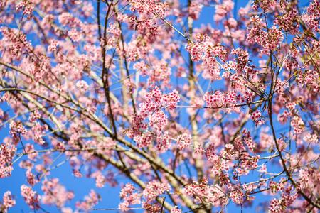 ramo de flores: Tailandesa flor Sakura Chiang Mai Tailandia Foto de archivo
