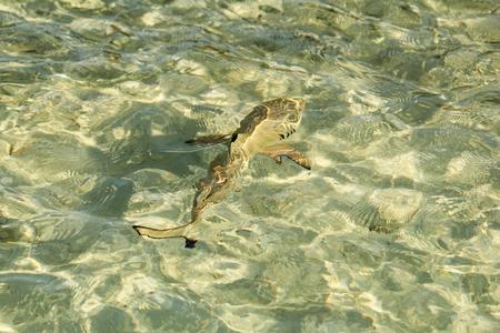 vilamendhoo: Baby shark at vilamendhoo island in the Indian Ocean Maldives