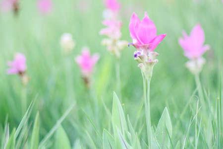 Siam tulip or Krajeaw Flowers at Sai Thong National Park, Chaiyaphum Stock Photo - 55017585