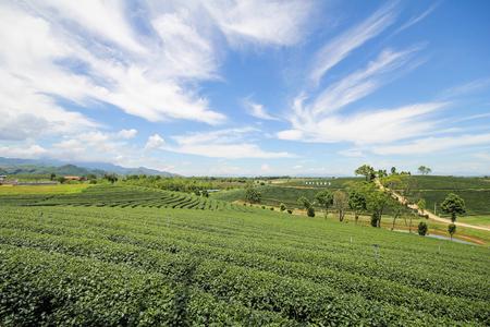Tea farm in Chiang Rai, Thailand