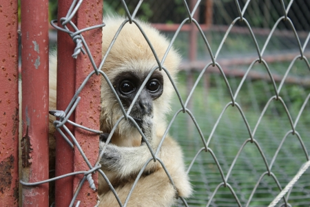 Gibbon in cage photo