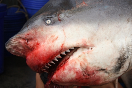 Scary died shark  Carcharhinus leucas  photo