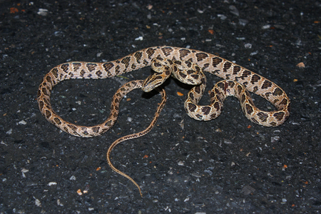 Many-spotted Cat Snake  Boiga multomaculata  photo