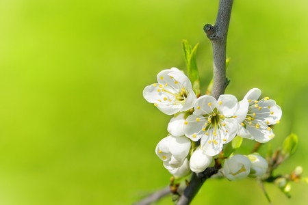 plum flower: Plum flower tree in the garden, spring bloom.