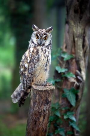 eared: Long eared owl sitting on post. Asio otus