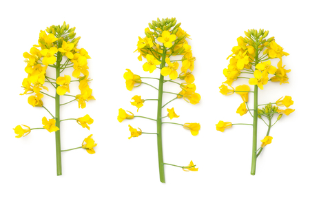 Rapeseed blossom isolated on white background. Brassica napus flowers. Top view  Stock Photo