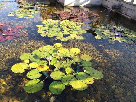 lotus leaf: Green lotus leaf in the pond.