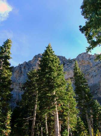 ponderosa: Ponderosa Pines on Mt. Charleston in Nevada. Stock Photo
