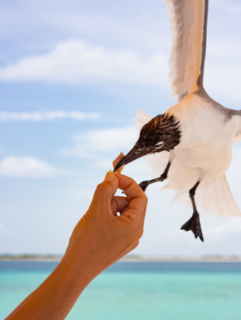 intrepid: A brave seagull grabs a crumb of bread on the fly straight from a raised hand Stock Photo