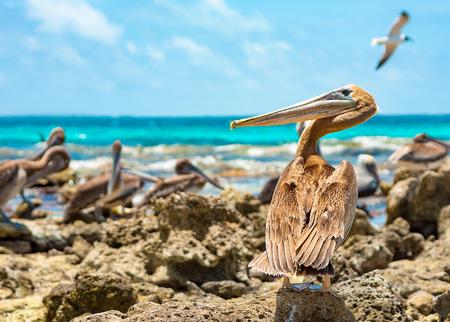 trespasser: On a caribbean beach a wary pelican keeps his eyes on the stranger Stock Photo