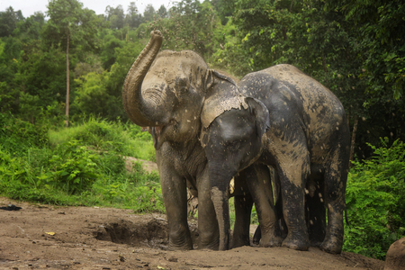 Elephants playing in the mud pit with their family. 免版税图像