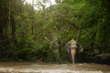 The magnificent elephants are walking in the river and look very happy living in their natural element.