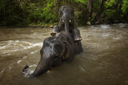 Elephant enjoy accompanying together in the river, Beautiful friendship has formed for them. Stock Photo