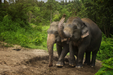 Elephants playing in the mud pit with their family. Stock Photo