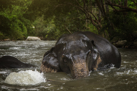 Elephants relaxing and enjoying themselves in a peaceful surroundings in the river. Archivio Fotografico