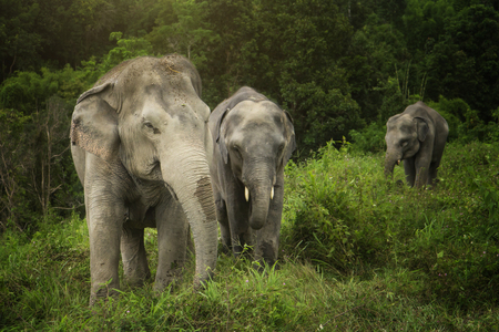 Elephants take a relaxing walk through the grassy field.