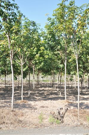 Rows of rubber trees being tapped in a plantation photo