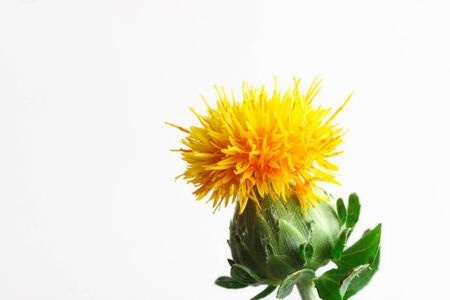 Safflower on a white background Stock Photo