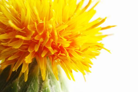 Close-up of safflower 写真素材