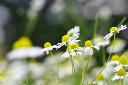 Chamomile flower bed