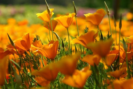 Clumps of California poppy