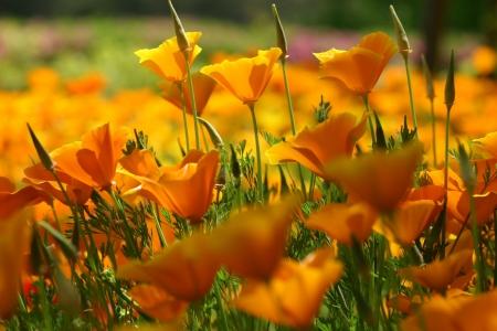 gregarious: Clumps of California poppy