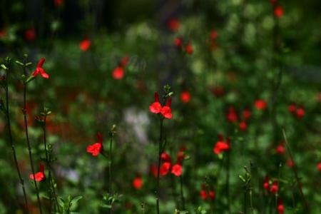 gregarious: Salvia microphylla Stock Photo