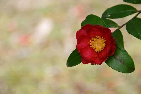 Camellia photo