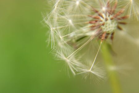 Close-up of dandelion fluff Stock Photo