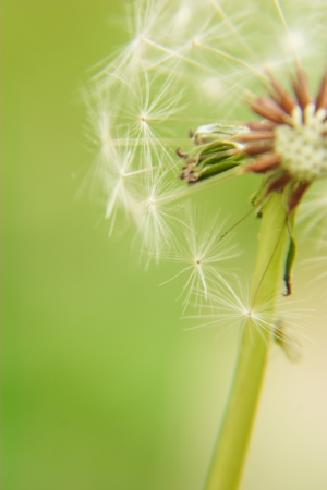 Close-up of dandelion fluff Stock Photo
