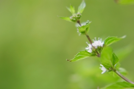 Spearmint flower photo
