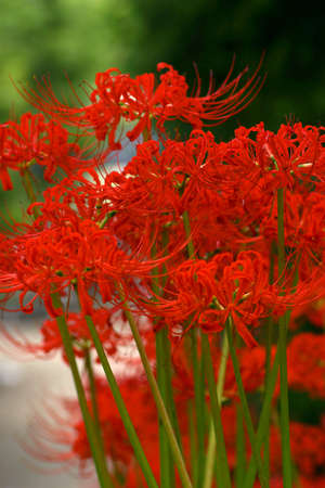 Clumps of red spider lily photo