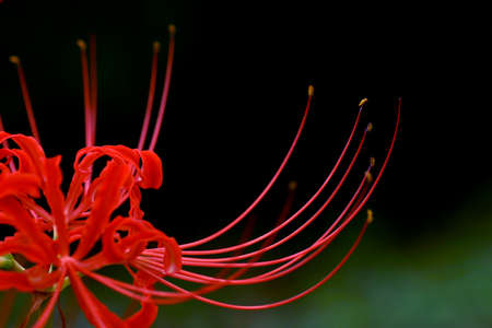 Close-up of the red spider lily Cibeles photo