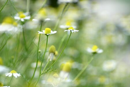 Blooming chamomile in the garden photo