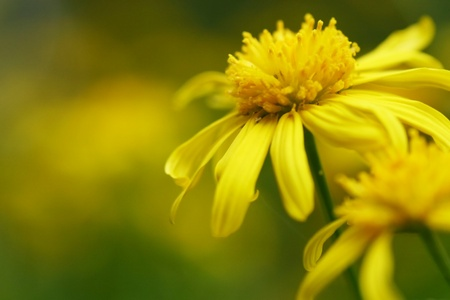 Euryops daisy photo