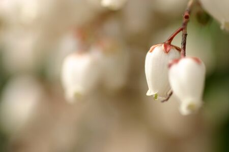 pieris: Close-up of Pieris japonica