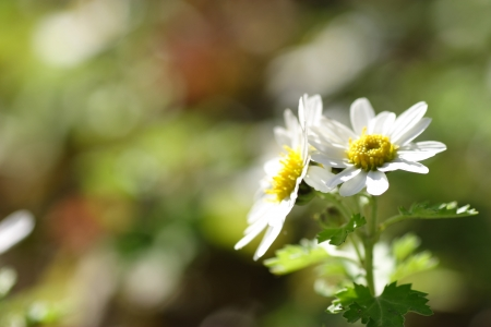 sulight: White wild chrysanthemum