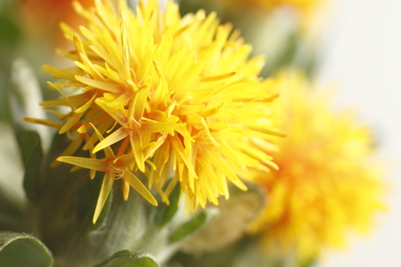 Close-up of safflower Stock Photo
