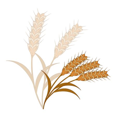 wheat illustration: Wheat illustration of a white background