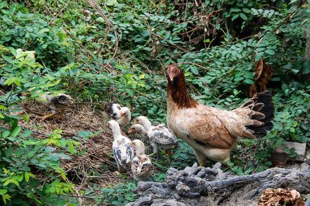 chicks: Gallina y sus cr�as