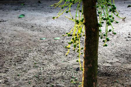 laden: Baccaurea fruit