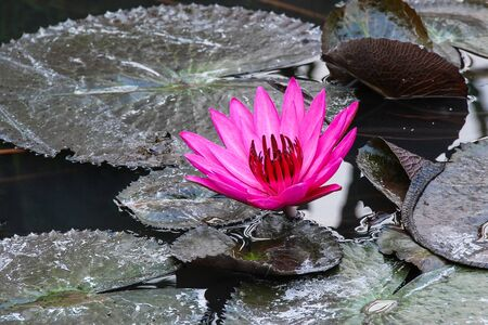 nymphaea: Nymphaea flower
