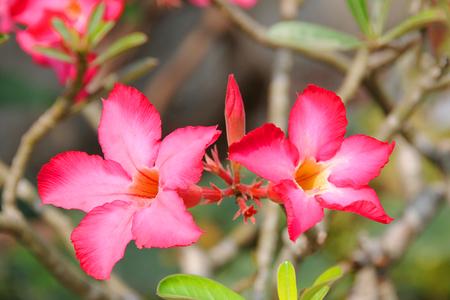 apocynaceae: Apocynaceae flower