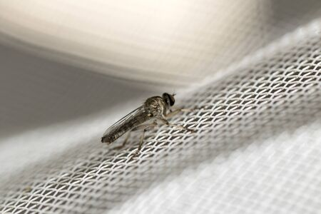 Little robber fly landed on a white plastic net. Close-up image. Macro photography. Zdjęcie Seryjne