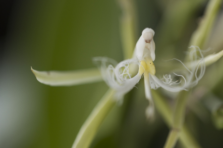 Beautiful picture of an amazing white flower named Coilostylis-Ciliaris Orchid. Picture taken on an afternoon at an event of Orchid Cultivators in Brazil. Close-up photography. Macro Lens.